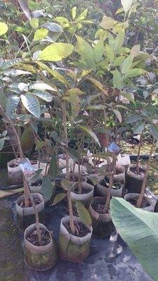 ❤心緗園❤喬木植物◦○ღ洋紅風鈴木ღ◦○花多好觀賞/7吋/高90~120CM