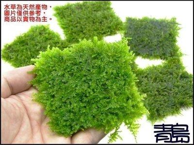。。。青島水族。。。臺灣天然水草--【陰性】南美小三角莫絲 莫斯 默思(網片)==8片189(綠地毯)