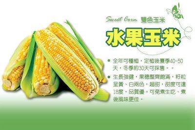 【振華育苗】雙色水果玉米種子 Sweet corn F1一代交配品種 可生食,甜度可達18度!!