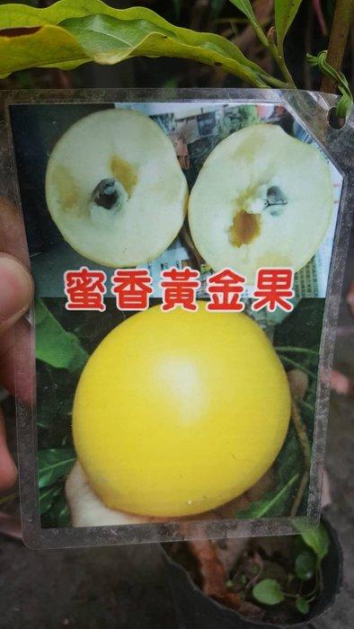 ╭*田尾玫瑰園*╯新品種水果苗-(蜜香黃金果)高50cm600元