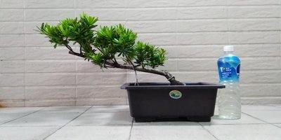 028 屋頂上的盆栽 金鑽羅漢松6 可寄送