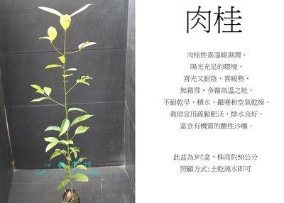 心栽花坊-土肉桂/3吋/不能食用/綠籬植物/害蟲少/售價40特價35