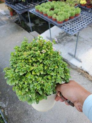 李家果苗 紫芳草 5.5吋盆 高約18公分 單價120元