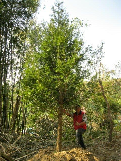 青山園藝  油杉米俓10~12cm  高5~6米  黑松桂花真柏紅豆杉雪松羅漢松