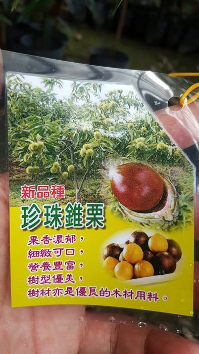 ╭*田尾玫瑰園*╯水果苗(珍珠錐栗)高2尺1100元