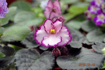 堤緣花語陶-淨化室內空氣植物-非洲紫羅蘭 Raspberry Crisp