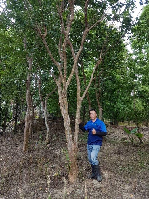 (青山園藝) 紫薇 米俓約20~40cm高度約6~10米 樟樹櫸木黑松真柏油杉肖楠七里香桂花