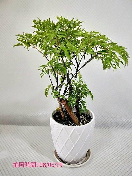易園園藝- 羽葉福祿桐樹F37(福貴樹/風水樹)室內盆栽小品/盆景高約30公分