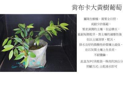 心栽花坊-肯布卡大黃樹葡萄/嘉寶果/7吋盆/20cm/嫁接苗/水果苗/售價700價550