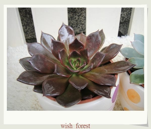 WISH FOREST【多肉植物。黑王子】。全日照。像是黑色石蓮花。多肉愛家不可少~