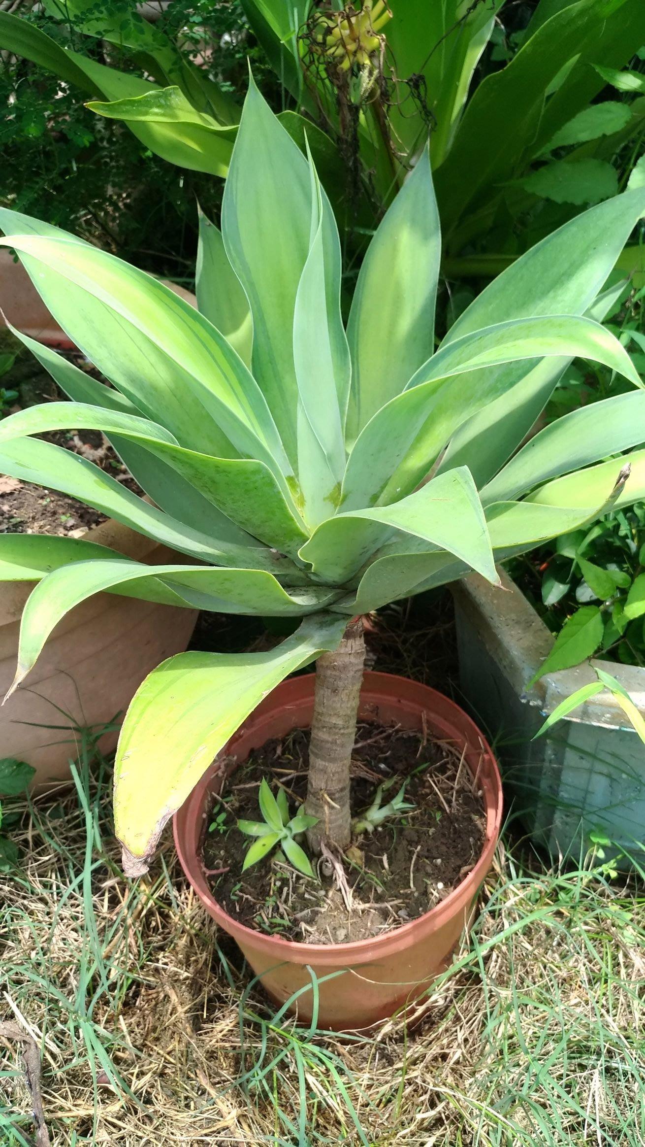翠綠中斑(初綠)龍舌蘭
