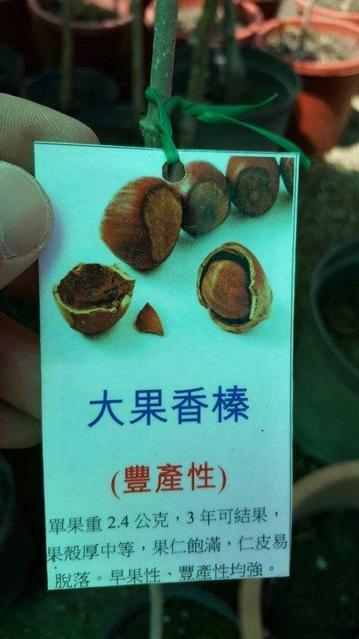 ╭ *田尾玫瑰園*╯水果苗-(大果香榛)高60cm1000元