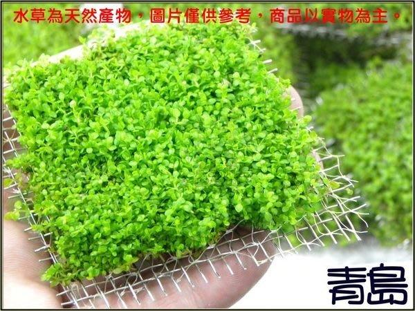 五月缺。。。青島水族。。。臺灣天然水草----【陽性】日本珍珠草==(8x8網片)