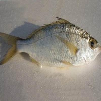 【澎湖垵米-約2斤/組】新鮮魚貨乾淨處理產地直送(秤重計價)-2501003